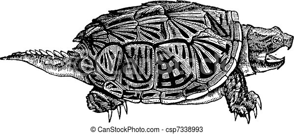 Snapping Turtle (Chelydra serpentina), vintage engraving. - csp7338993