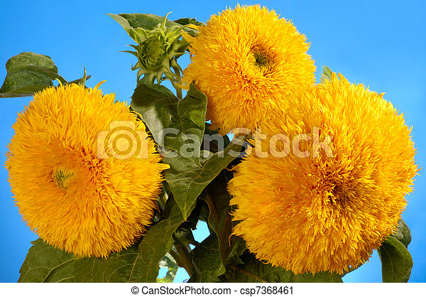 Giant Sungold Hybrid Sunflowers - csp7368461