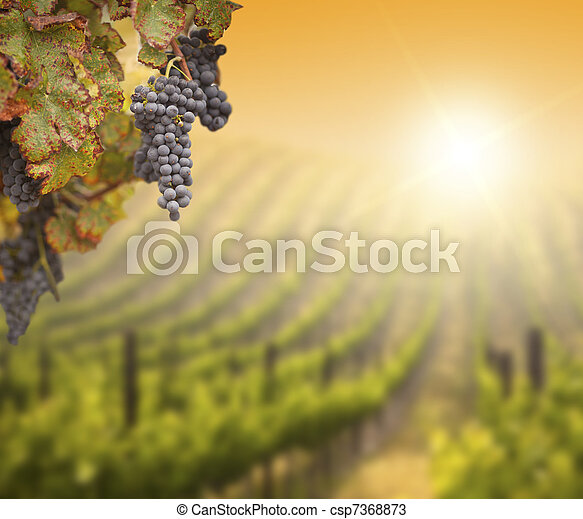 Lush Grape Vine with Blurry Vineyard Background - csp7368873