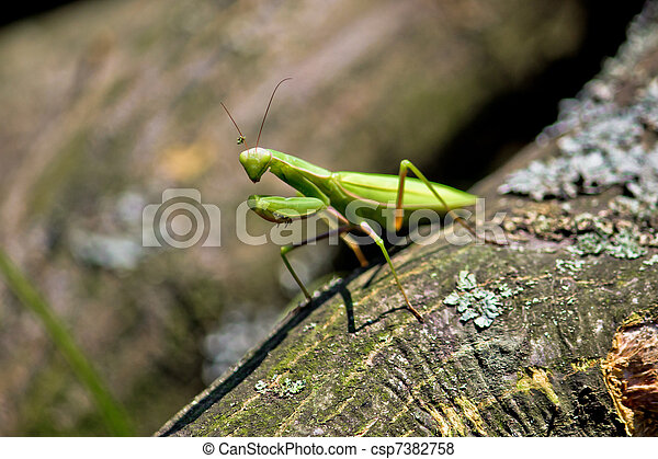 Praying Mantis in natural environment - csp7382758