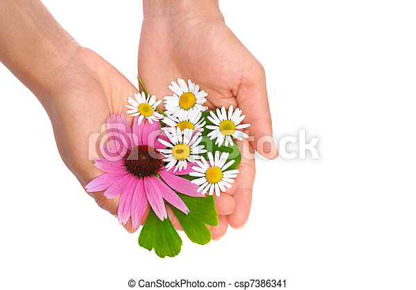 Hands of young woman holding herbs - echinacea, ginkgo, chamomile - csp7386341