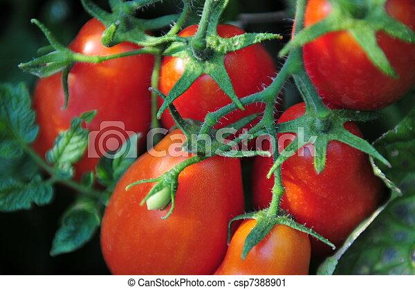 Roma Tomatoes - csp7388901