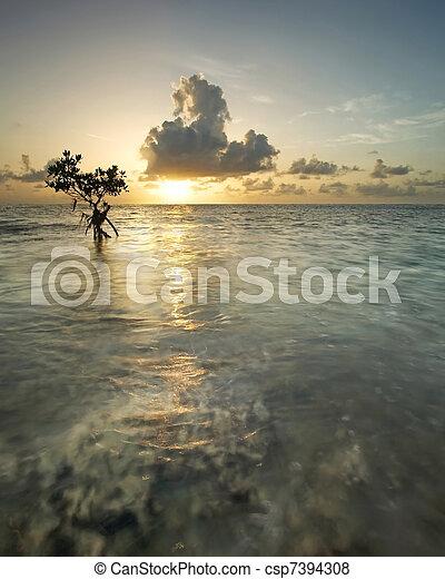 Mangrove Tree at Sunrise - csp7394308