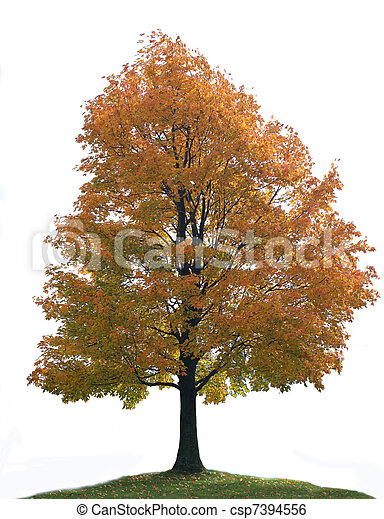 Isolated Big Lone Maple Tree - csp7394556