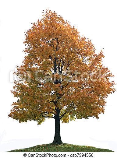 Isolated Big Lone Maple Tree - csp7394556