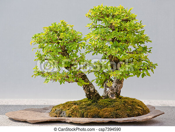 Japanese Evergreen Bonsai on Display - csp7394590