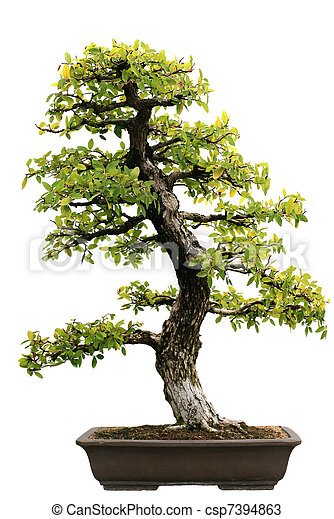 Japanese Evergreen Bonsai at Isolated  - csp7394863