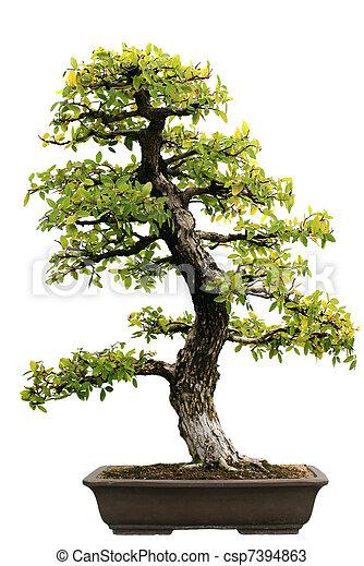 Japanese Evergreen Bonsai at Isolated  - csp7394863