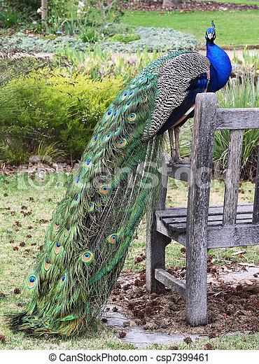 Peacock in park - csp7399461