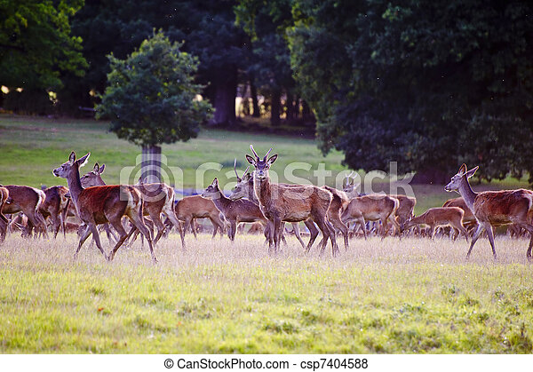 Herd of red deer stags and hinds during rut season in Autumn Fall  - csp7404588