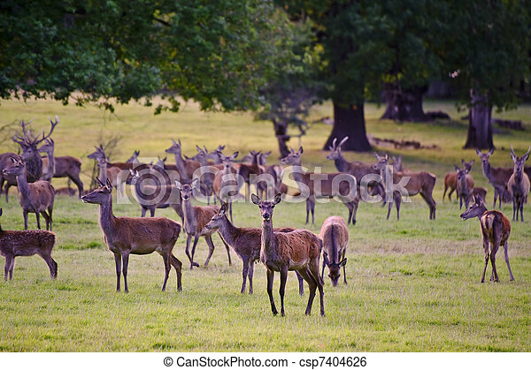 Herd of red deer stags and hinds during rut season in Autumn Fall - csp7404626
