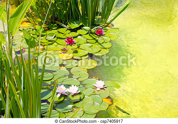 Nenufar Water Lilies on green water pond - csp7405917