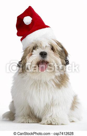 Lhasa Apso Dog Wearing Santa Hat - csp7412628