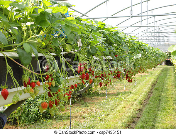 stock photography of culture in a greenhouse strawberry and strawberries csp7435151 search. Black Bedroom Furniture Sets. Home Design Ideas