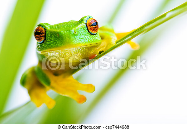 Small green tree frog holding on the palm tree - csp7444988