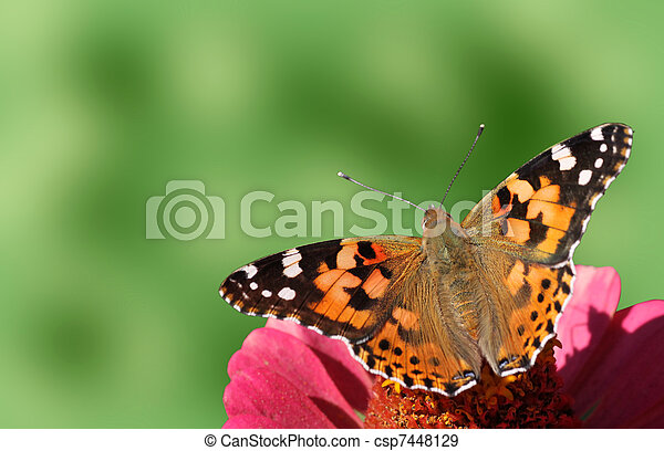 butterfly (Painted Lady) - csp7448129
