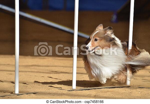 Shetland Sheepdog (Sheltie) at a Dog Agility Trial - csp7458166