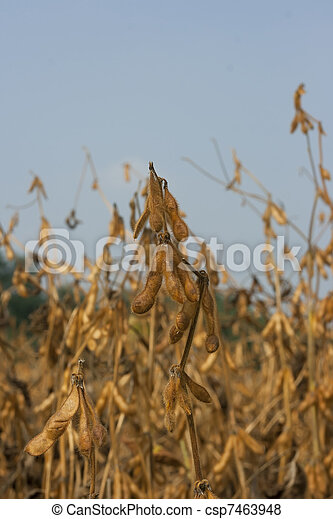 Soybean field ripe