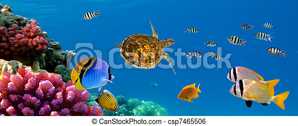 Underwater panorama with turtle, coral reef and fishes. Sharm el Sheikh, Red Sea, Egypt - csp7465506
