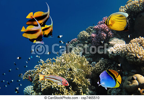 Underwater life of a hard-coral reef, Red Sea, Egypt - csp7465510