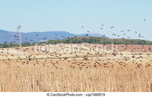 Flock of birds, Common Starling - csp7466919