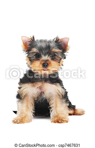 One Yorkshire Terrier (of three month) puppy dog - csp7467631