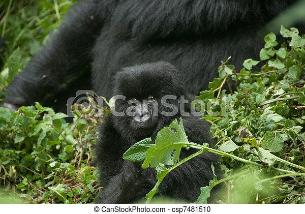 Peering gorilla baby - csp7481510