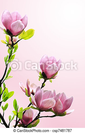 Spring magnolia tree blossoms on pink background. - csp7481787