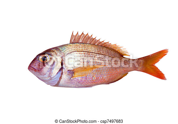 Common sea bream pagrus fish isolated - csp7497683
