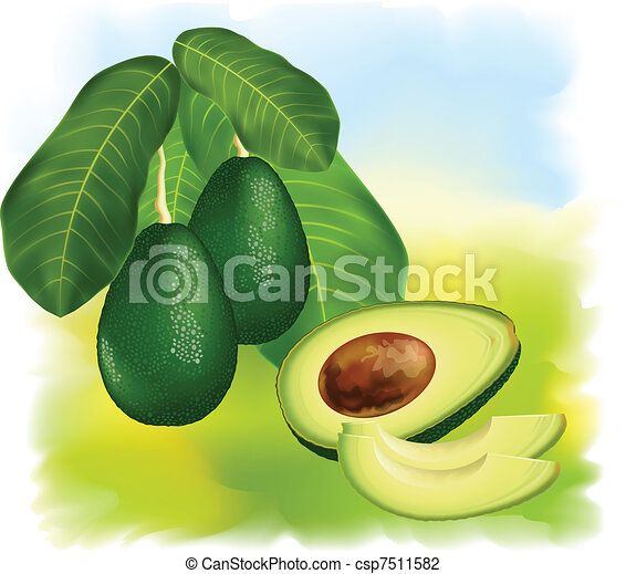 Avocados on a branch with leaves. - csp7511582