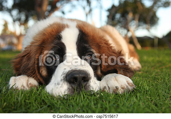 Cute Saint Bernard Purebred Puppy  - csp7515617