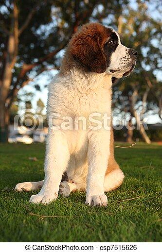 Cute Saint Bernard Purebred Puppy  - csp7515626