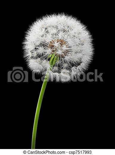 Dandelion - csp7517993