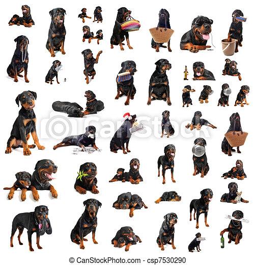 stock de ilustration de rottweilers retrato  de  un rottweiler clipart png rottweiler clip art black and white