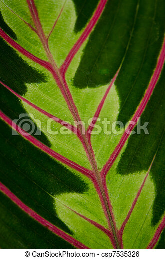 Green leaf with red veins  - csp7535326