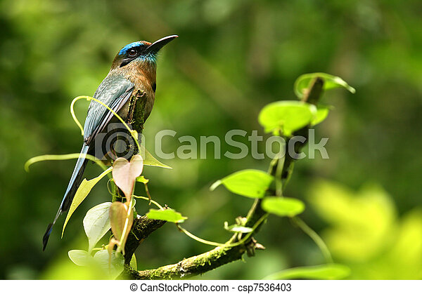 A tropical bird in a rain forest of Costa Rica: this is a turquoise-browed motmot (Eumomota superciliosa) - csp7536403