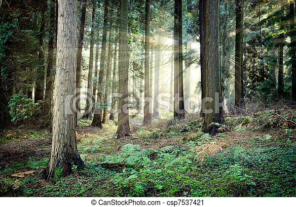 Beautiful sunset in mysterious forest - csp7537421