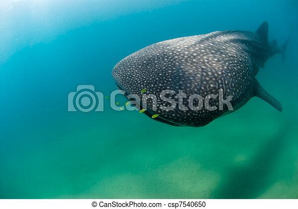 Nearing whale shark - csp7540650