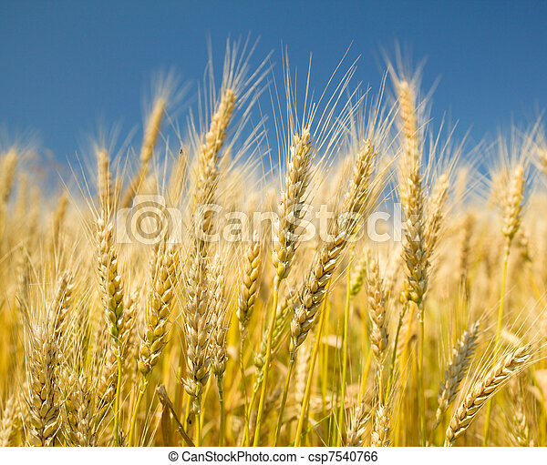 藍色的天空, 小麥, 成熟 - csp7540766