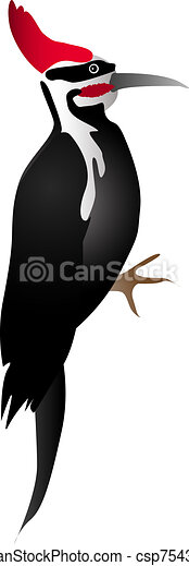 Pileated Woodpecker Drawing Vector Illustration of...