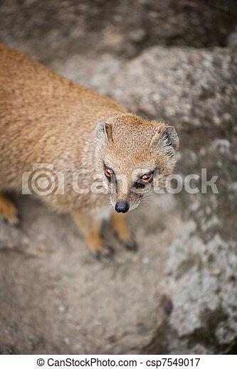 cute yellow mongoose  - csp7549017