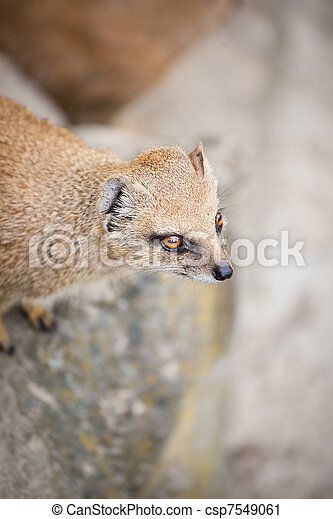cute yellow mongoose  - csp7549061