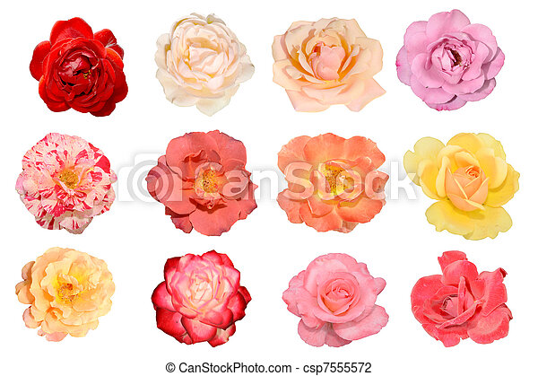 Roses, flowers - csp7555572
