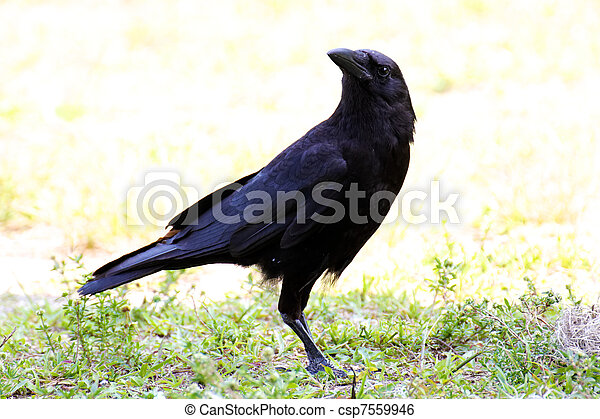American Crow Suspiciously Watching - csp7559946