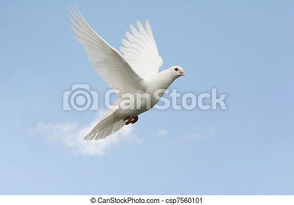 White dove in flight - csp7560101