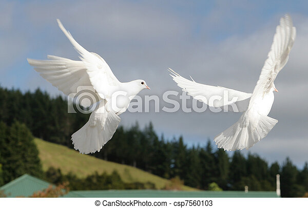 White doves flying - csp7560103
