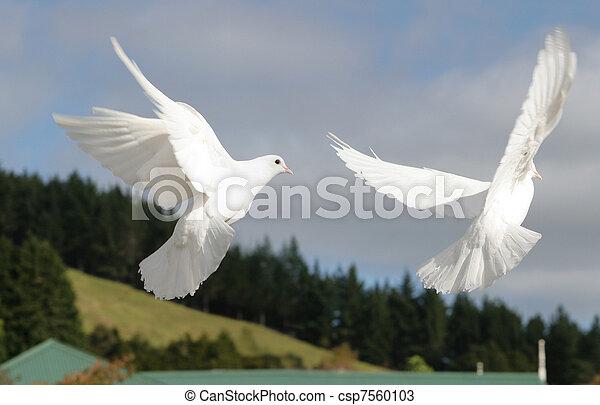 White doves flying - csp7560103