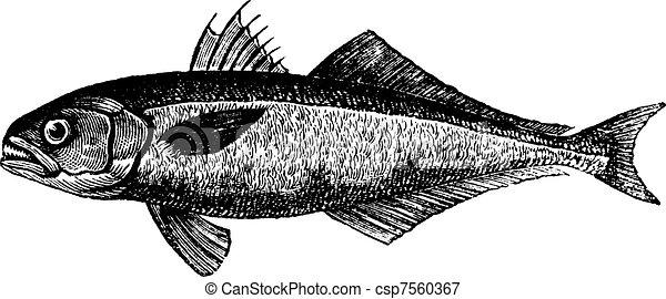 The bluefish (Pomatomus saltatrix) or tailor, vintage engraved illustration. Trousset encyclopedia (1886 - 1891). - csp7560367