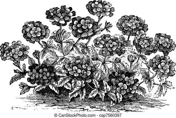 Verbena or Vervain or Verbena sp., vintage engraving - csp7560397