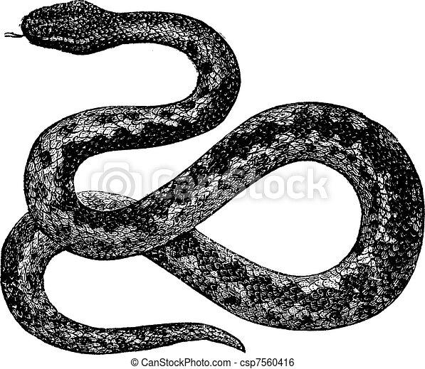 European Viper or Vipera berus, vintage engraving - csp7560416